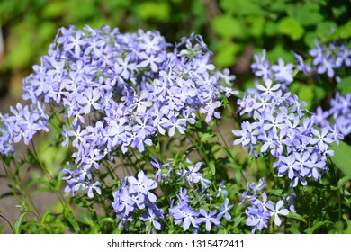 Flowers of the Sweet William phlox (Phlox divaricata L.)