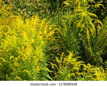 flowers of tall goldenrod, Solidago gigantea,