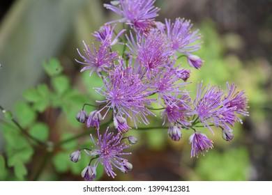 Flowers of thalictrum or European meadow rue