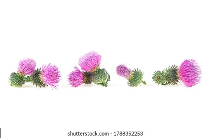 Flowers of thistle isolated on a white background. Milk thistle plant (Silybum). Scottish thistle.