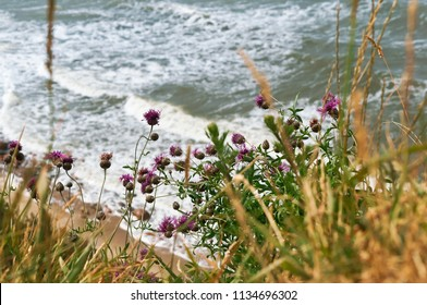 flowers Thistle on the beach, sea coast view from the cliff top