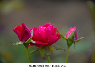 FLOWERS - three roses