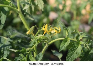 Flowers tomato.