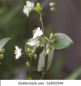 flowers tradescantia