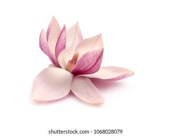 Flowers tree magnolia flower