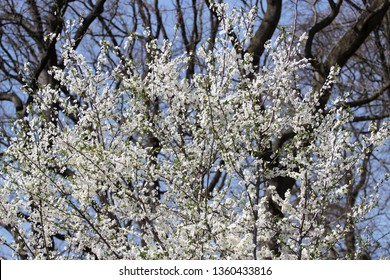 flowers of a tree in spring, cherry tree
