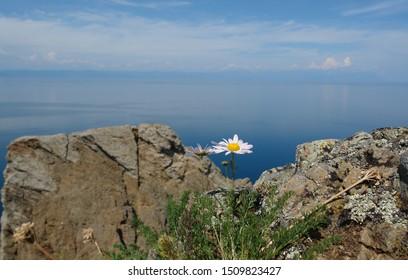 Flowers of Tripleurospermum Inodorum (scentless false mayweed, scentless mayweed, scentless chamomile, wild chamomile) growing on rocky slopes in the area of Cape Khoboy on Olkhon Island, Lake Baikal