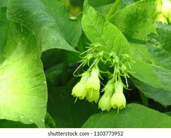 flowers of tuberous comfrey, Symphytum tuberosum,