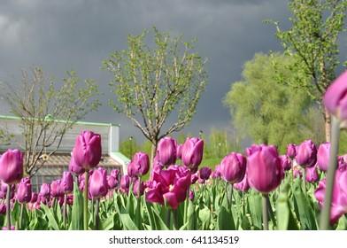 Flowers tulips  before raining