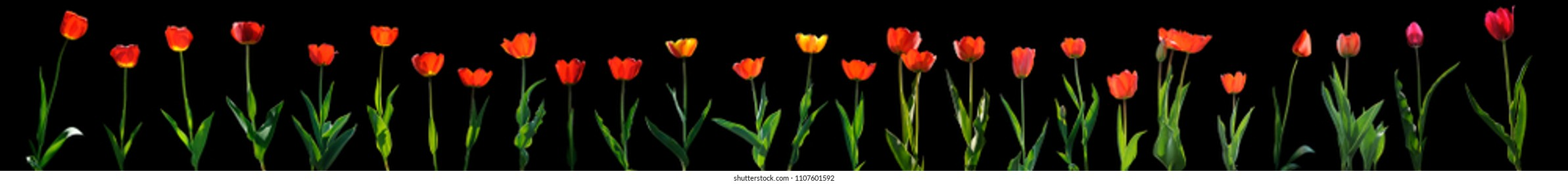 Flowers tulips carved on a black background, Panorama.