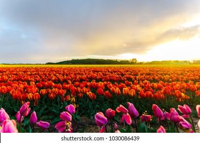 Flowers tulips field
