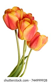 Flowers, tulips isolated on a white background