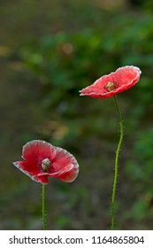 FLOWERS - two red poppies