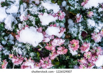 flowers under the snow. early snow covering the blooming pink inflorescences of chrysanthemums. Blooming spherical chrysanthemums under the snow. sudden precipitation in the form of snow.