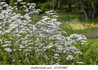 Flowers of Valeriana Officinalis or Valerian plant, used to treat insomnia in herbal medicine, in the herbs garden at summer