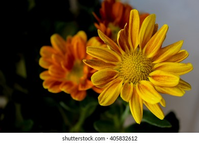 Flowers in a Vase 3 / My daughter always let her flowers to me to care, these are a kind of Chrysanthemum and were so exquisite that deserved a macro.