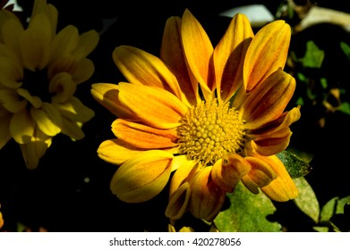 Flowers in a Vase 5 / This is a kind of Chrysanthemum lighting by a sun ray in the morning.