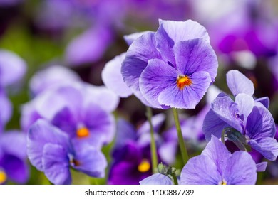 Flowers of viola blossom in the spring