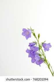Flowers violet bells on a white background
