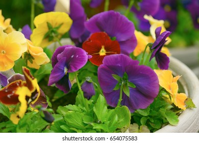 flowers of violets in pots in the garden