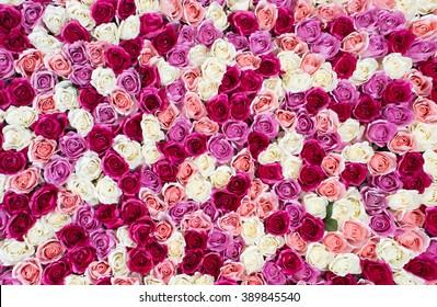 blühender Hintergrund mit erstaunlichen Rosen in Rot und Weiß.