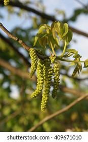 Flowers walnut