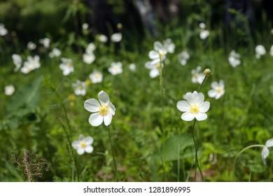Flowers of white Anemones (Anemone nemorosa) grow on sammer meadow.