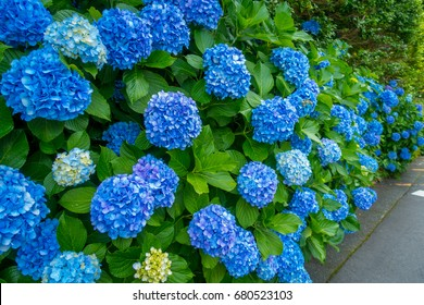 Flowers in white and blue, Hortencias, blossom at Hakone town in Japan