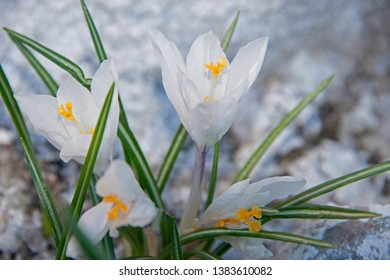 FLOWERS - white crocuses on white background