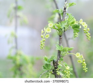 Red flowering currant images stock photos vectors shutterstock flowers of white currant in the early spring selective focus mightylinksfo