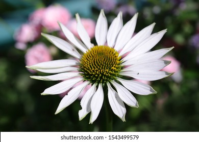 Flowers White Echinacea a close up macro on a green background it is horizontally. Echinacea Virgin. Asteraceae Family. Top view. Copy space