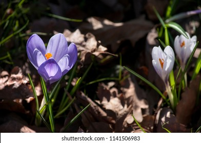 Flowers of white and lilac crocuses in a spring forest