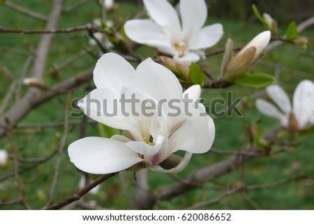 Flowers White Magnolia Exotic Delicate Flower Stock Photo Edit Now