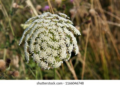 Flowers of wild carrot or Daucus carota in the field