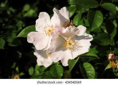 Flowers of wild rose growing in nature