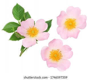 The flowers of wild rose isolated on white, top view.