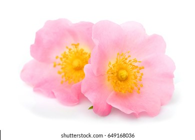 The flowers of wild rose isolated on white background.