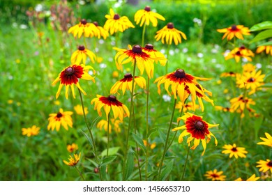Flowers wild rudbeckia. The blooming of beautiful flowers of orange rudbeckia (Black-eyed Susan) in the summertime. Soft blurred selective focus.