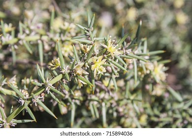 Flowers of wild and thorny asparagus, Asparagus aphyllus, growing in Arousa Island, Galicia, Spain