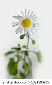 FLOWERS - winter camomile