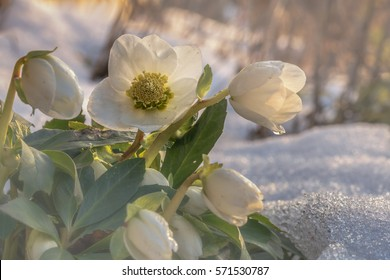 Flowers in winter, A flowering hellebore (Helleborus niger) in the snow in sunlight