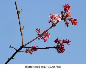 Flowers of Winter (Viburnum x bodnantense)