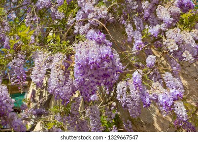 Flowers of Wisteria sinensis