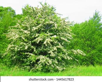 flowers of  woodland hawthorn,  Crataegus laevigata,