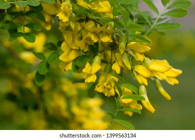 Flowers of yellow acacia in the color, Caragan tree, close-up
