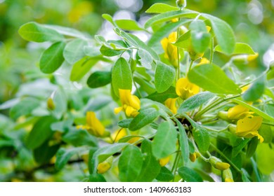 Flowers of yellow acacia shrub on shallow depth background. Close-up blooming Caragan arborescenes tree