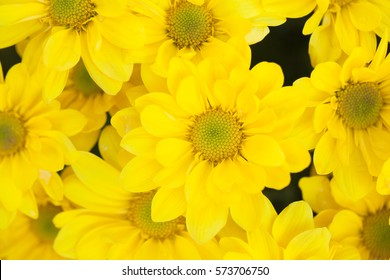 The Flowers, yellow chrysanthemum flowers wallpaper background in the gardens