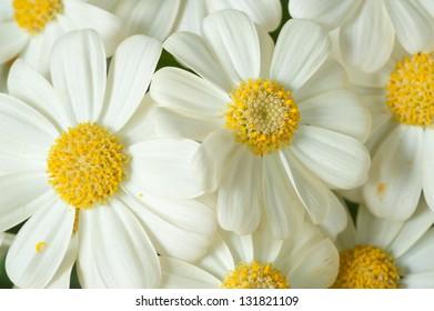 Flowers: Yellow Cineraria