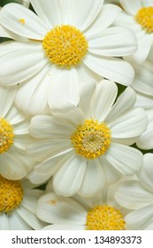 Flowers: Yellow Cineraria