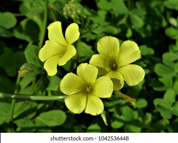 Clover and yellow flower images stock photos vectors shutterstock flowers yellow clover mightylinksfo